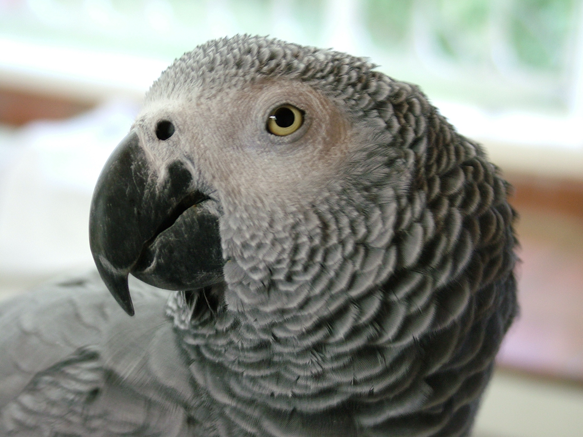 African Gray Parrots African Gray Parrot